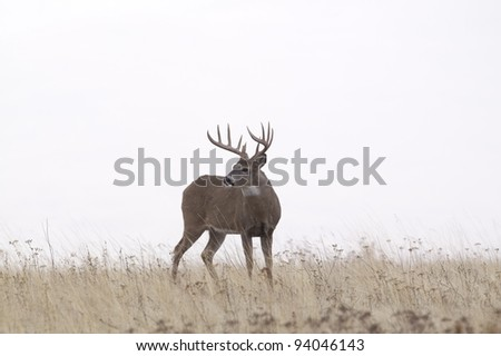 Large Whitetail Buck Against White Sky - stock photo
