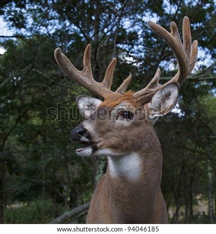Large Whitetail Buck in Velvet - stock photo