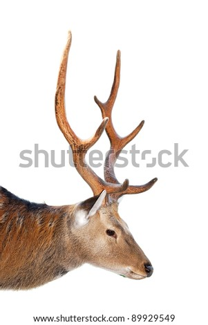 Large whitetail buck - isolated - stock photo