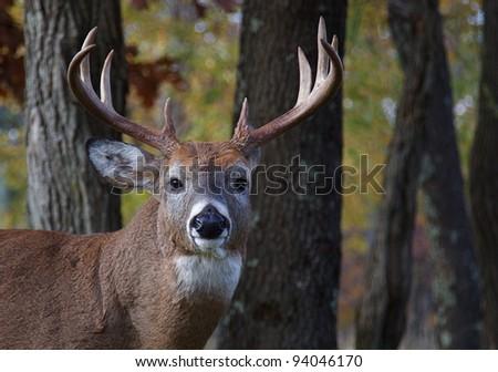 Large Whitetail Buck, Portrait with Woodland Background - stock photo