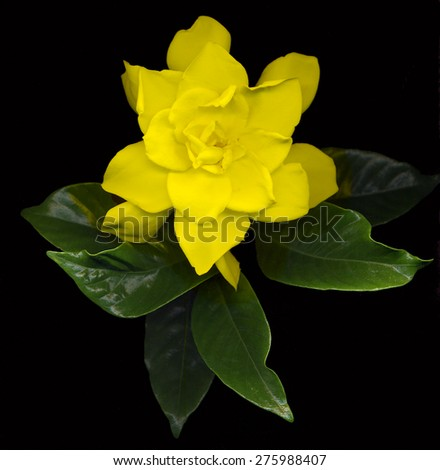 large yellow gardenia flowers with green leaves on black background - stock photo