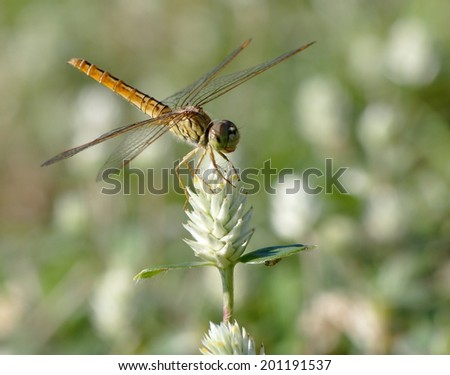 large yellow orange dragonfly resting on a white grass flower in nature under bright summer sunlight  with natural green grass bokeh background - stock photo