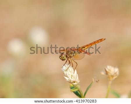 large yellow orange dragonfly resting on a white grass flower in nature under bright summer sunlight with natural brown dried grass bokeh background - stock photo