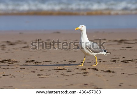 Larus Michahellis - Argentea Seagull - Alvor, Algarve, Portugal - stock photo