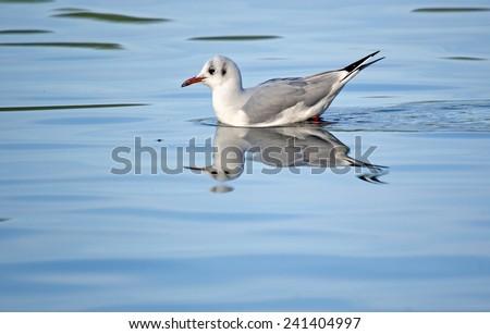 Larus ridibundus Black-headed Gull  - stock photo