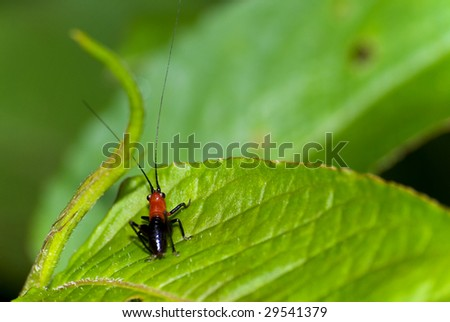 Larva of cricket (Conocephalus melas) - stock photo