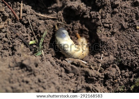 larva of may-bug  buried in the ground - stock photo