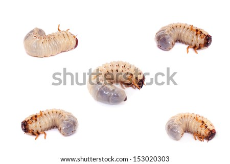 Larva of the European rhinoceros beetle on the white background - stock photo