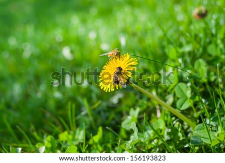 Last autumnal days in Dandelion life. - stock photo