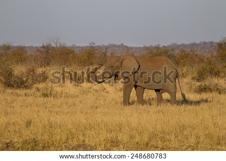 Last goodbye - African elephant (Loxodonta africana) - stock photo