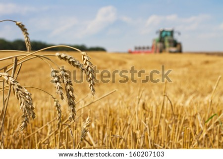 Last straws on field after harvest and tractor plowing, focus on ears of wheat - stock photo