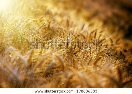 Late afternoon in wheat field - stock photo