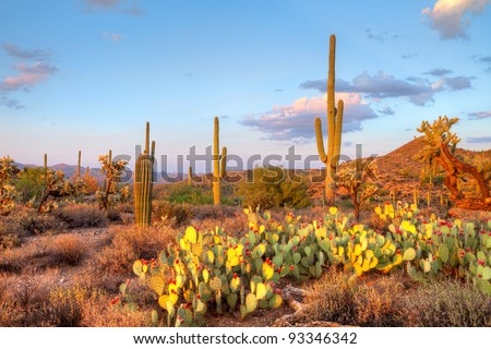 Late light illuminates Saguaros in Sonoran Desert. - stock photo