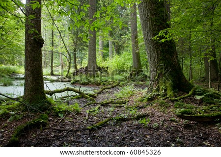 Late summer forest landscape of wet stand with old trees in foreground - stock photo