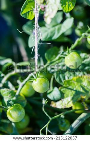 Late summer in organic community vegatable garden. - stock photo