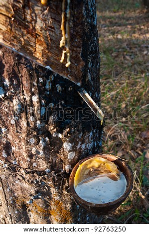 Latex from a rubber tree - stock photo