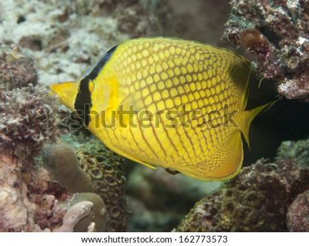 Latticed butterflyfish in Bohol sea, Phlippines Islands - stock photo