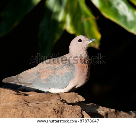 Laughing dove on a piece of driftwood looking to right of photo with a dark leafy background - stock photo