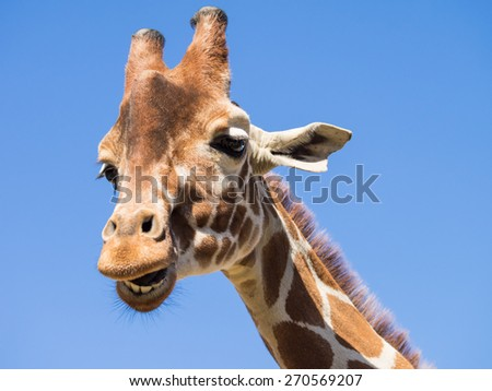 Laughing Giraffe against blue sky - stock photo