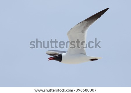 Laughing gull flying with a blue sky - stock photo