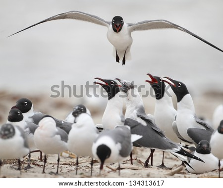 Laughing Gull (Larus atricilla) in flight over its colony - North Padre Island National Seashore, Texas - stock photo