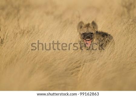 Laughing Hyena - stock photo