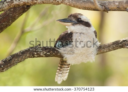 Laughing Kookaburra - stock photo