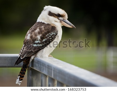 Laughing Kookaburra in Queensland Australia. - stock photo