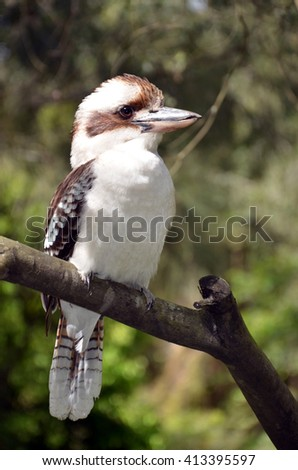 Laughing Kookaburra perched on a branch, Australia - stock photo