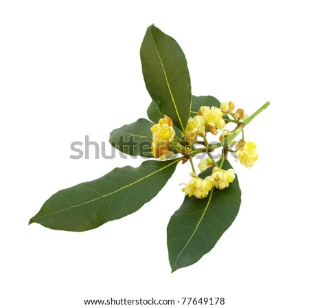 Laurel Bay branch with leaves and flowers - stock photo