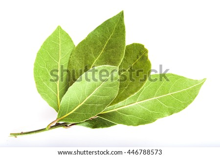 Laurel branch with dry leaves isolated on a white background - stock photo