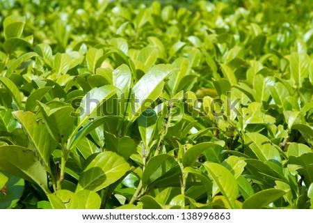 Laurel bush hedge growing in a spring garden - stock photo