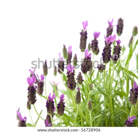 Lavandula Stoechas (French lavender; Spanish Lavender; Topped Lavender), isolated on white - stock photo