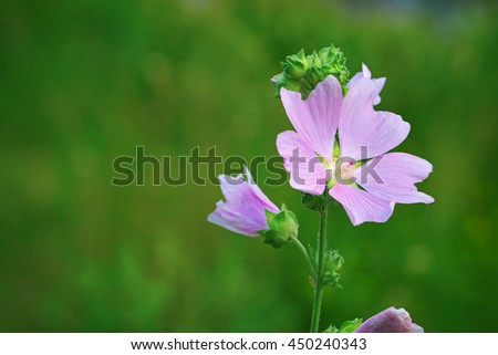 Lavatera thuringiaca, the garden tree-mallow. A species of Lavatera native to eastern Europe and southwestern Asia - stock photo
