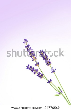 Lavender - stock photo
