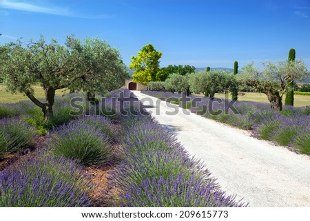lavender and olive trees in Provence, France - stock photo