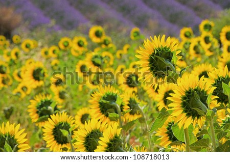 lavender and sunflowers - stock photo