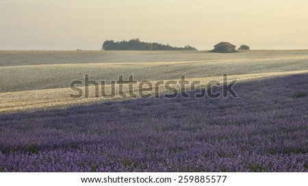Lavender and wheat fields, Provence, France - stock photo
