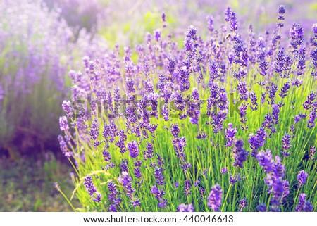 Lavender bush in full bloom - stock photo