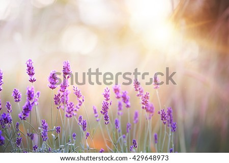 Lavender bushes closeup on sunset. Lavender field closeup. Blooming lavender.Sunset gleam over purple flowers of lavender. Provence region of france. - stock photo
