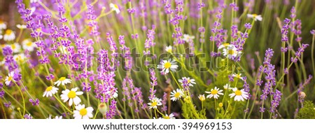 Lavender bushes. Purple flowers of lavender. Bushes on the center of picture and sun light on the left. Provence region of france. - stock photo