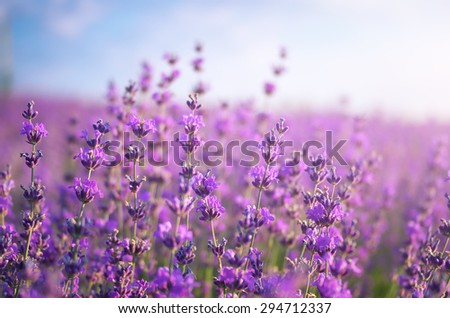 Lavender closeup. Composition of nature. - stock photo