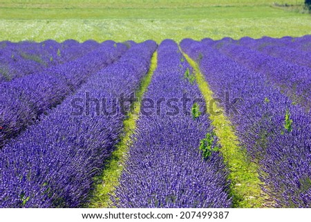 lavender farm on green meadow - stock photo