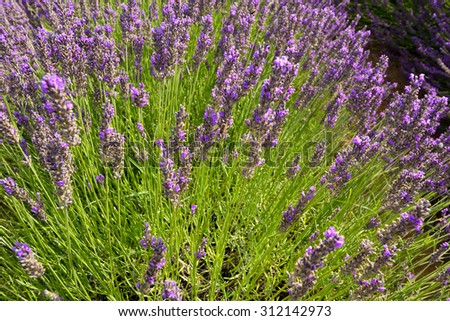 Lavender field - stock photo