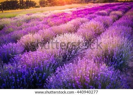 Lavender field - stock photo