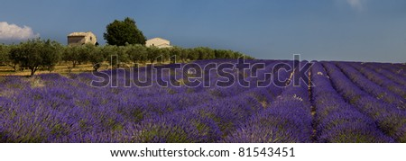 Lavender field and farm - stock photo