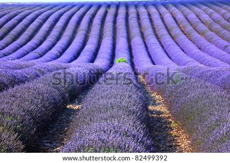 Lavender field at Provence, France - stock photo