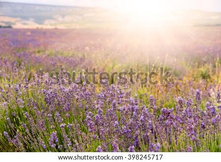 Lavender field at sunse. Landscape of lavender field in sunset llight. Lavender flower field as natural background. - stock photo
