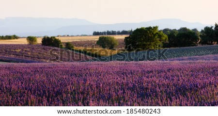 Lavender field at sunset - stock photo