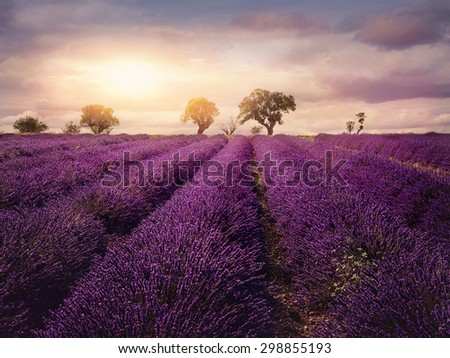 Lavender field at sunset, Provence - stock photo